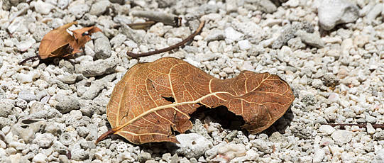 Two withered leaves on light gravel.