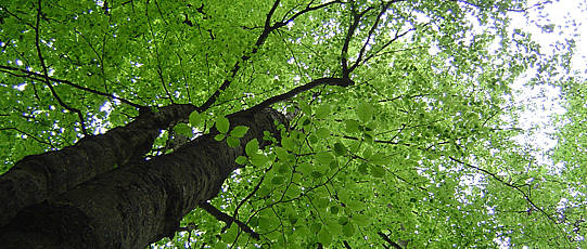View from below towards tree trunk and treetop.