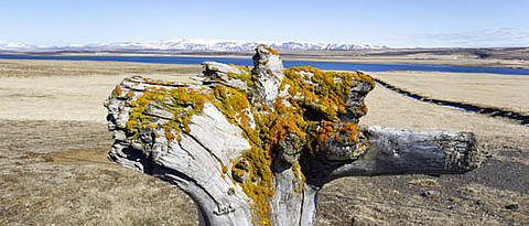 Driftwood overgrown with moss in front of mountains and water.