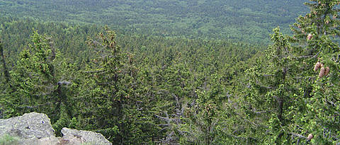 View from above on coniferous forest.