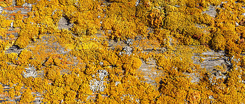 Rocky ground covered with yellow mosses.