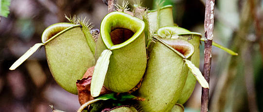 Calyxes of a carnivorous plant.